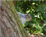 Squirrel in Tredegar Park.
