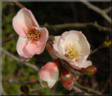 Quince Blossoms.