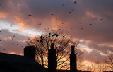 Rooks roosting for the night in the sunset.