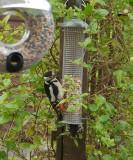 Female on the feeder.