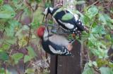 Female bird feeding a junior male.