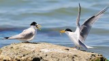 Least Terns- Courtship Food Offering