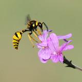 Wasp on Phlox