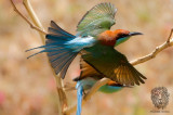 Blue Throated Bee-eater (Merops viridis)