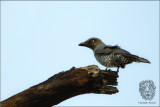 Bar-bellied Cuckoo-shrike (Coracina striata)
