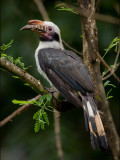 Hornbill, Luzon (Penelopides manillae)
