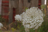 Queen Annes Lace by the barn.jpg