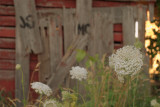 Queen Annes Lace by a loved barn.jpg