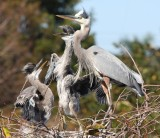 Great Blue Herons I'm king of this nest