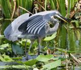 Great Blue Heron Gone Fishing