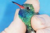 Broad-billed Hummingbird in Blountstown, FL