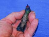 Broad-billed Hummingbird in Jacksonville, FL