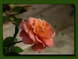 The New Rose Bush