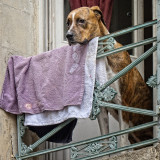 Arles, A Large Dog Hanging His Laundry