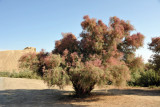 An interesting bush at Merv which changes color with the seasons