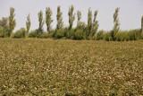 Cotton field, Türkmenabat