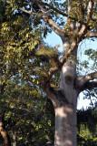 Tropical tree, Honduras