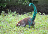 Coati that got into a fight with a can of paint