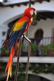 Scarlet Macaw, Hotel Santo Tomás