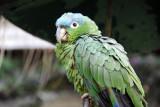 Green parrot, Hotel Santo Tomás