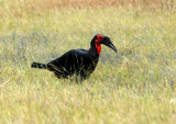 Ground Hornbill - our first spot of a very productive afternoon drive from Khwai River airstrip to our campsite at Sable Alley
