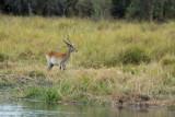 Red Lechwe, Okavango Delta