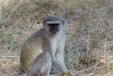 Vervet Monkey outside our campsite as we begin the second drive of day 1
