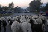 Sheep jam, Prithvi Highway, Nepal