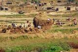 Farmers building rice stacks, Nepal