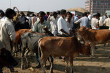 For more excitement, just beyond the sand pile is a crowded cattle market