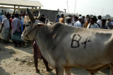 Not grade 'A' but 'B+' doesn't sound too bad for the Fatulla cattle market