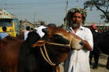 Man at the Fatulla Cattle market with his Brahma bull