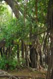 Mangrove, Ngoc Son Temple island, Hoan Kiem Lake