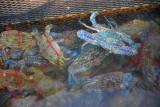 Crabs, fish farm, Halong Bay