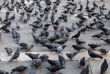 The famous pigeons of St. Mark's Square (supposedly winged rats to Venetians)