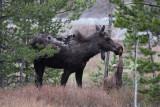 Pronghorn,  Moose and Bighorn Sheep