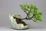 Ulmus parvifolia #061