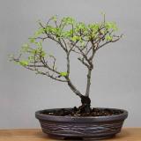 Ulmus parvifolia #066
