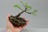 Ulmus parvifolia #050