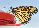 Monarch at Feeder