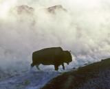 Buffalo Leaving Hot Springs Yellowstone I