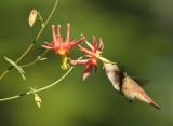 Hummer w Columbine III Pollinator