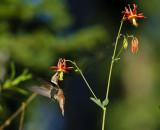 Hummer w Columbine V  Pollinator