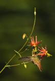 Hummer w Columbine IV  Pollinator