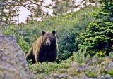 Bear Encounter July 1990