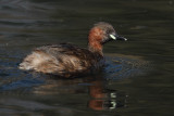 Little grebe, mating plumage