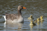 Greylag Goose - Young