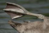 Mute swan, juvenile