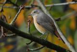 Common Redstart, 1Y
