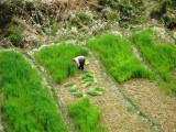 rice paddies - I love the green!